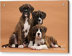 Three Boxer Puppies Acrylic Print by Mark Taylor