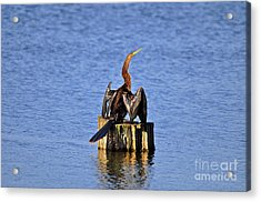 Wet Wings Acrylic Print by Al Powell Photography USA