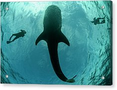 Whale Shark And Tourist Acrylic Print by Pete Oxford