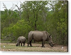 White Rhino And Calf Acrylic Print by Bob Gibbons
