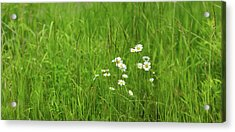 Wildflowers In A Field, Gooseberry Acrylic Print by Panoramic Images