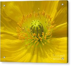 Yellow Macro Acrylic Print by Chris Anderson
