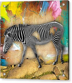 Zebra Collection Acrylic Print by Marvin Blaine