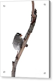 White-throated Sparrow Acrylic Print by Jack R Brock