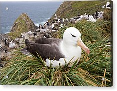 A Black Browed Albatross Acrylic Print by Ashley Cooper
