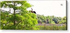 Anhinga Anhinga Anhinga On A Tree Acrylic Print by Panoramic Images