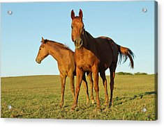 Bay-colored Riding Horses On Ranch Acrylic Print by Larry Ditto