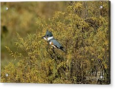 Belted Kingfisher With Fish Acrylic Print by Anthony Mercieca