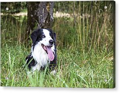 Border Collie In The Nature Acrylic Print by Regina Koch