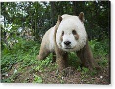 Giant Panda Brown Morph China Acrylic Print by Katherine Feng