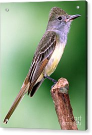 Great Crested Flycatcher Acrylic Print by Millard H. Sharp