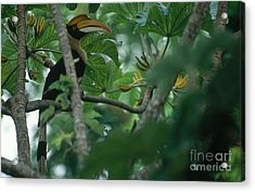 Great Pied Hornbill Acrylic Print by Art Wolfe