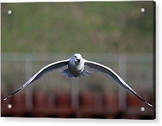 Gull Acrylic Print by Jim Nelson