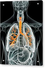 Human Lungs Acrylic Print by Sciepro