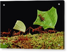 Leafcutter Ants Carrying Leaves French Acrylic Print by Mark Moffett