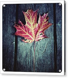 Maple Leaf Acrylic Print by Natasha Marco