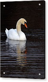 Mute Swan Acrylic Print by Jim Nelson