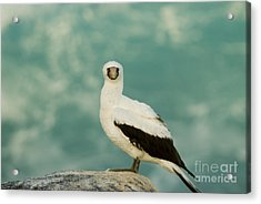 Nazca Booby Acrylic Print by William H. Mullins