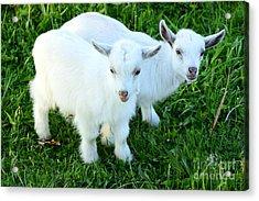 Pygmy Goat Twins Acrylic Print by Thomas R Fletcher