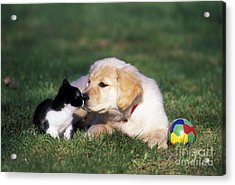 Retriever Puppy & Kitten Acrylic Print by Rolf Kopfle