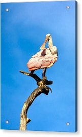 Roseate Spoonbill Acrylic Print by Mark Andrew Thomas