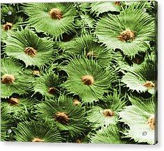 Russian Silverberry Leaf Sem Acrylic Print by Asa Thoresen