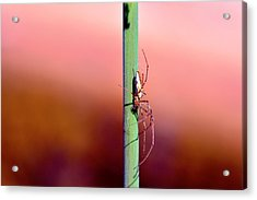 Spider In The Reeds  Acrylic Print by Toppart Sweden
