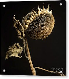 Sunflower Acrylic Print by Bernard Jaubert