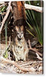 Tammar Wallaby (macropus Eugenii Acrylic Print by Martin Zwick