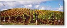 Vineyard At Napa Valley, California, Usa Acrylic Print by Panoramic Images