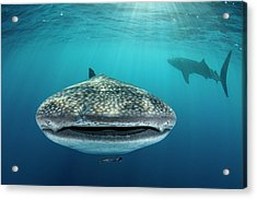 Whale Shark, Cenderawasih Bay, West Acrylic Print by Pete Oxford
