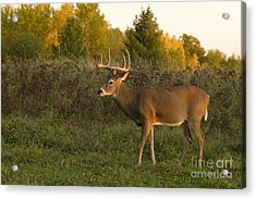 White-tailed Buck In Fall Acrylic Print by Linda Freshwaters Arndt