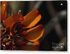 Wiliwili Flowers - Erythrina Sandwicensis - Kahikinui Maui Hawaii Acrylic Print by Sharon Mau
