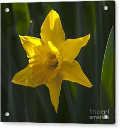Yellow Daffodil Acrylic Print by Mandy Judson
