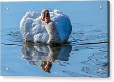 Mute Swan Acrylic Print by Brian Stevens