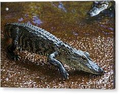 American Alligator Acrylic Print by Mark Newman