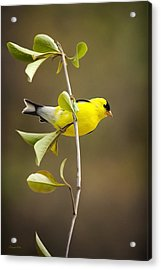 American Goldfinch Acrylic Print by Christina Rollo