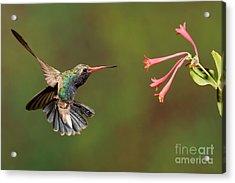 Broad Billed Hummingbird Acrylic Print by Scott Linstead