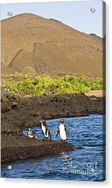 Galapagos Penguins Acrylic Print by William H. Mullins