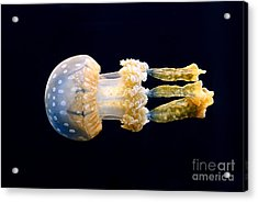 The Spotted Jelly Or Lagoon Jelly Mastigias Papua. Acrylic Print by Jamie Pham