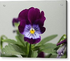 Viola Named Sorbet Plum Velvet Jump-up Acrylic Print by J McCombie
