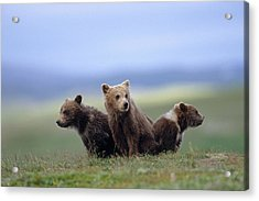 4 Young Brown Bear Cubs Huddled Acrylic Print by Eberhard Brunner