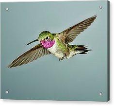 Broadtail Hummingbird Acrylic Print by Gregory Scott