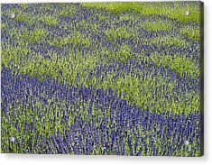 Lavendar Field Rows Of White And Purple Flowers Acrylic Print by Jim Corwin