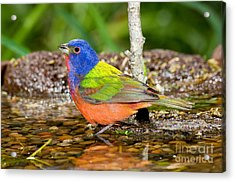 Painted Bunting Acrylic Print by Anthony Mercieca