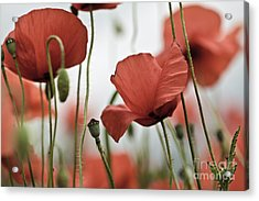 Red Poppy Flowers Acrylic Print by Nailia Schwarz