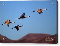 Sandhill Cranes Acrylic Print by Steven Ralser