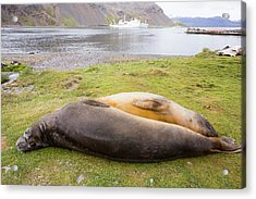 Southern Elephant Seal Acrylic Print by Ashley Cooper