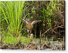Virginia Rail Rallus Limicola Acrylic Print by Linda Freshwaters Arndt