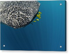 Whale Shark And Golden Trevally Acrylic Print by Pete Oxford